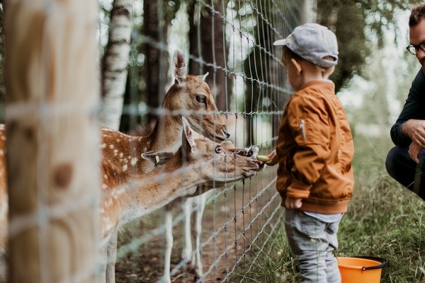 A boy feeding Giraffes at N.C Zoo